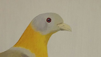 Yellow Footed Green Pigeon ( Treron phoenicoptera)