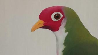 Jambu Fruit Dove (Ptilinopus  jambu). Oi