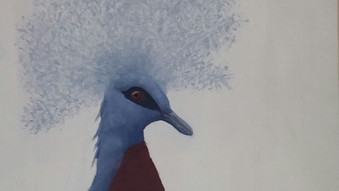 Western crowned pigeon (Goura cristata)