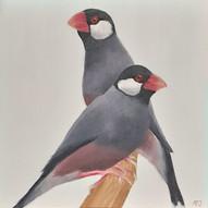 Java Finch (Lonchura orgzivora)