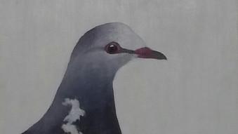 Wonga pigeon (Levcosarcia melanolevca)