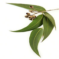 eucalyptus-leaves-500x500_edited.jpg