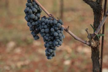 Grapes 1.JPG