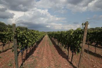 Vineyards 1.JPG