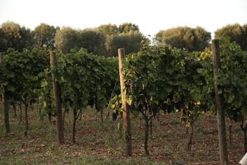 Vineyards 2.JPG