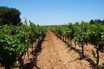 Vineyards 3.JPG