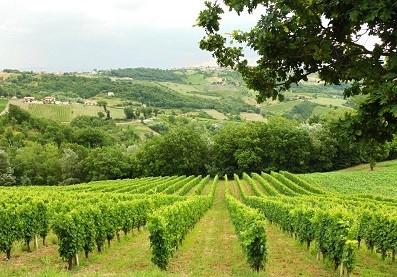 montesole vigne.jpg