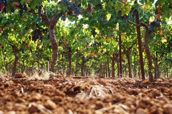 Vineyards 5.JPG