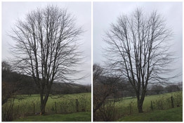 before & after field maple canopy thin
