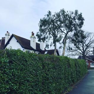 eucalyptus reduction westbury