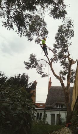 Simon Eucalyptus dismantle