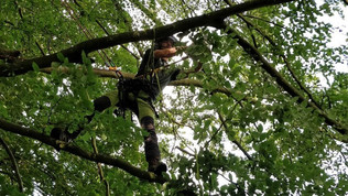 Tree surgeon in beech canopy