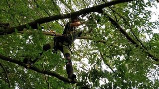 Tree surgeon in beech canopy