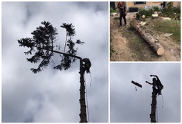 Spruce coming down