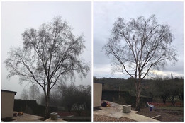 Before & After Birch reshape