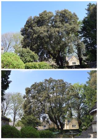 TPO'd holm oak