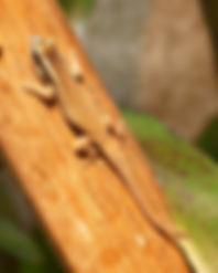 Phelsuma ornata Nachzucht