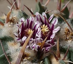 Echinofossulocactus, stenocactus coptonogonus