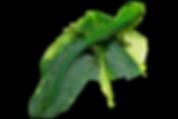 Phelsuma pasteuri Jungtier