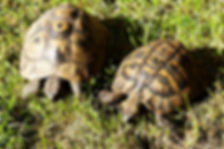 griechische Landschildkröte, Testudo hermanni boettgeri, italienische