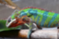 Pantherchamäleon Furcifer pardalis ambilobe