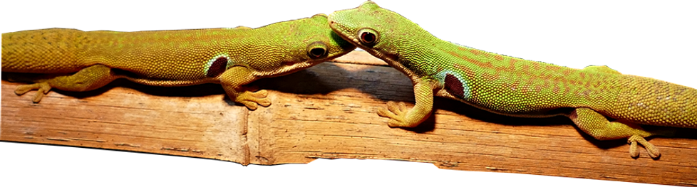 Phelsuma quadriocellata quadriocellata, Pfauenaugen-Taggecko, Vieraugen-Gecko