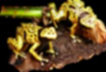 Dendrobates leucomelas genetzt, Bolivar