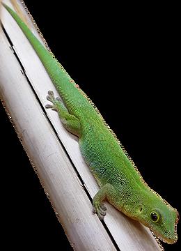 Phelsuma sundbergi ladiguensis, Seychellen Taggecko, La Digue