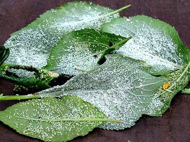 Futtertierzucht, Blattlaus, Blattläuse, Pflaumenbaum, Dendrobaten, Dendrobates