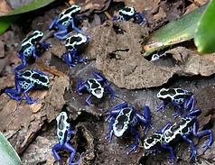 Dendrobates tinctorius blue Sipaliwini,  New river, Nachzuchten