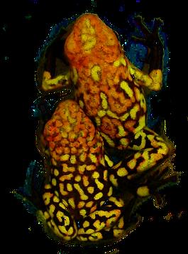 Oophaga histrionica Buenaventura red head