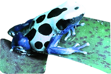 Dendrobates tinctorius oyapock
