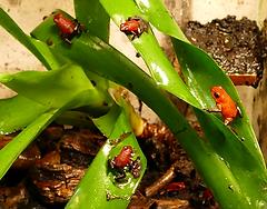 Oophaga pumilio Siquirres (Schwarzbeiner, black Jeans)