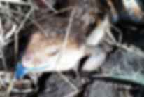 KaiserTiere, Blauzungenskink, Tiliqua scincoides intermedia, blauzungen Skink