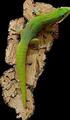 Phelsuma laticauda laticauda, Goldstaub Taggecko
