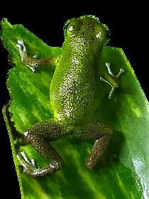 Oophaga pumilio cayo de Aqua