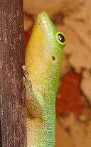 Phelsuma sundbergi ladiguensis Kehle
