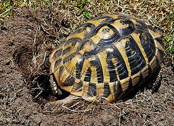 griechische, italienische Landschildkröte Testudo hermanni, Eier legen, graben