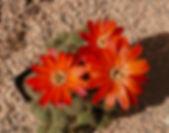 Rebutia, Aylostera tarvitaensis