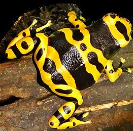 Dendrobates leucomelas gebändert Puerto Ayacucho, gebänderter Baumsteiger, Bumblebee darf frog, bumble bee