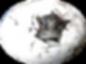 Testudo hermanni, griechische Landschildkröte