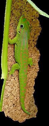 Phelsuma guimbeaui, Mauritius Taggecko