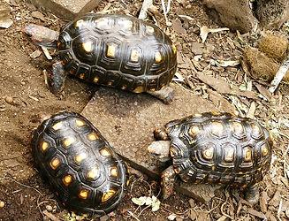 Rotkopf Köhlerschildkröte Chelonoidis carbonarius, Geochelone carbonaria
