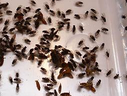 Futtertierzucht Drosophila hydei, Fruchtfliege, groß, Dendrobaten
