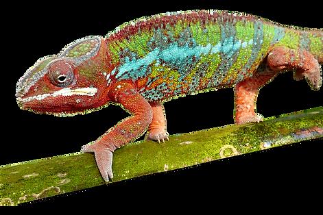 Furcifer Pardalis, Pantherchamäleon, ambilobe