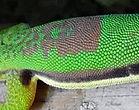 Phelsuma lineata, Streifen-Taggecko
