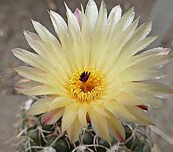 Notocactus crassigibus
