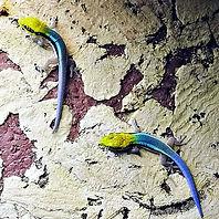 Phelsuma klemmeri.jpg