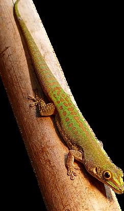 Phelsuma sundbergi longinsulai, Seychellen, Long Island Taggecko
