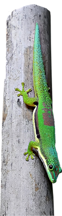 Phelsuma lineata
